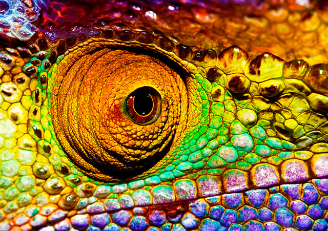 colourful chameleon eye close up red blue green yellow rainbow