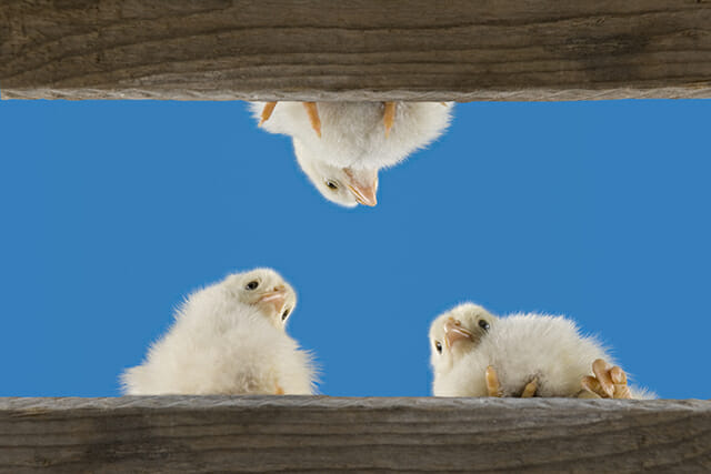 chicks three birds chickens blue sky looking down low angle fence animal pet