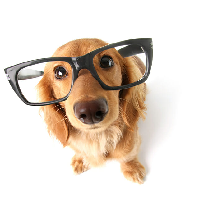 dog funny sat high angle looking down glasses brown coat cavalier funny thick rimmed glasses pet portrait