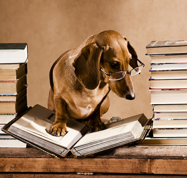 dog daschund daxon reading glasses study books desk working funny costume pet portrait