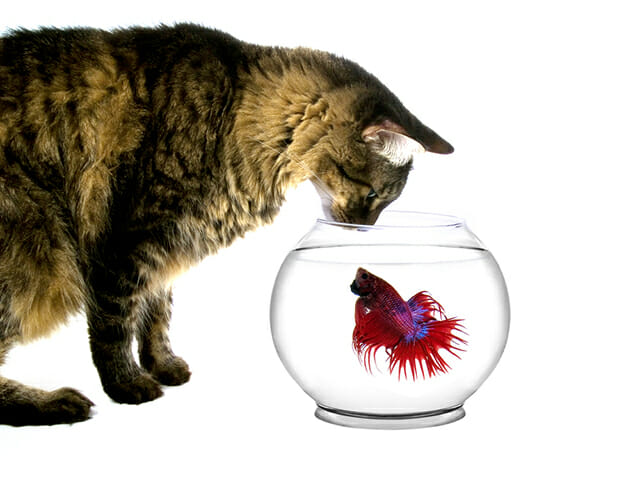 cat waiting watching fish in bowl water red blue fish tropical isolated white background tabby pet portrait