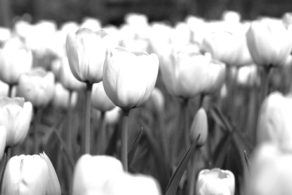 white black monochrome flower red filter camera photography