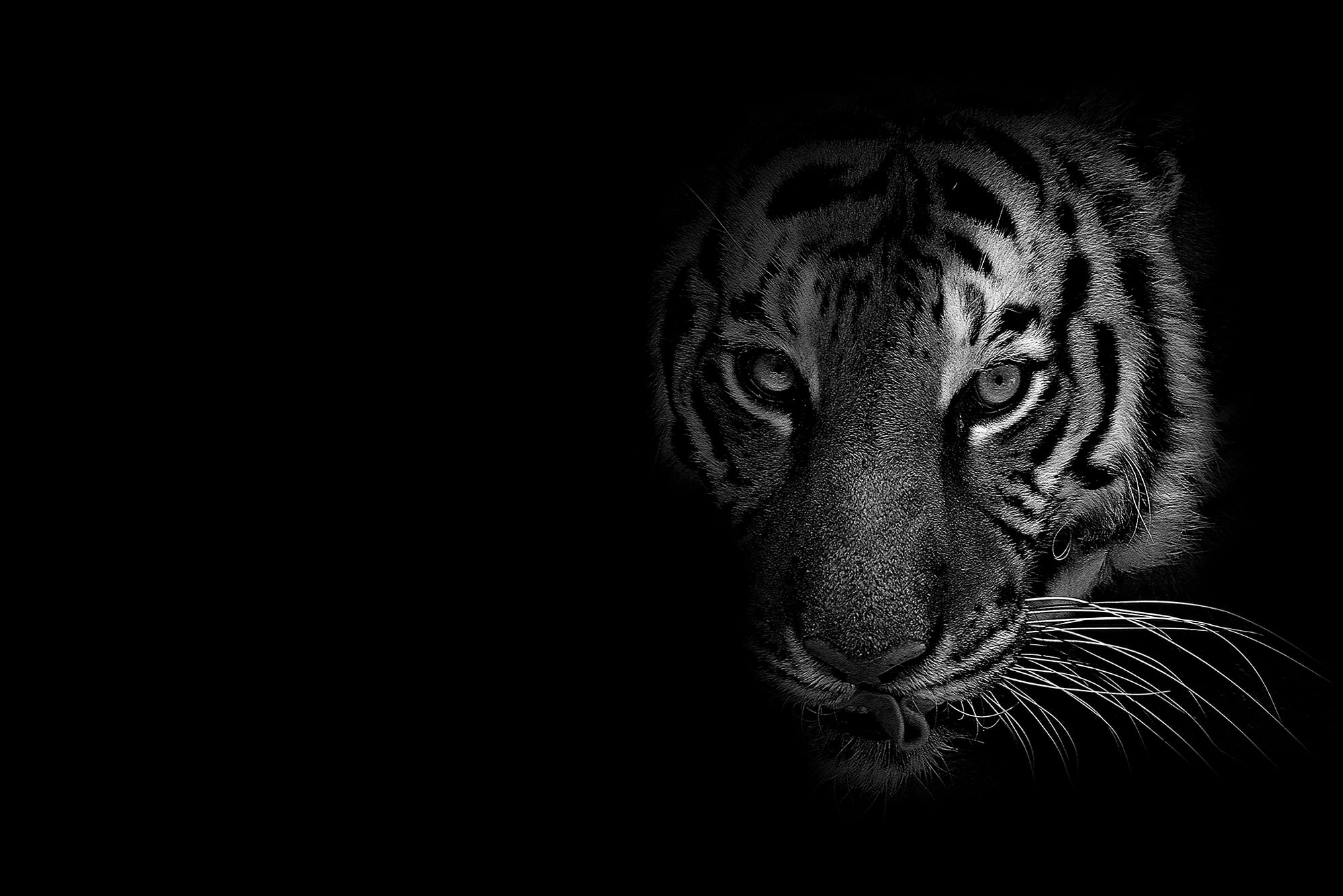 tiger dark big cat stripes whiskers mouth teeth wild animal low key shadows