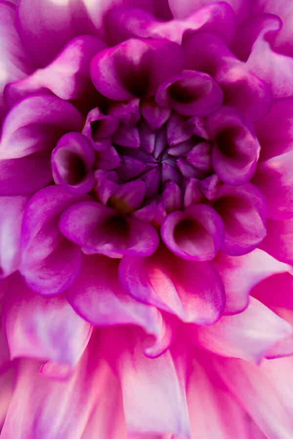 purple pink flower macro photography