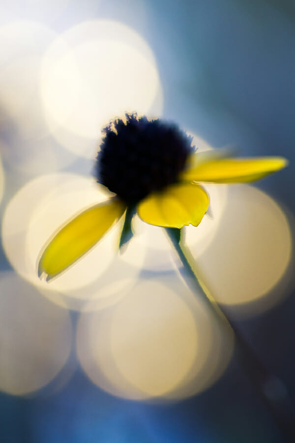 flower photography daisy white green yellow
